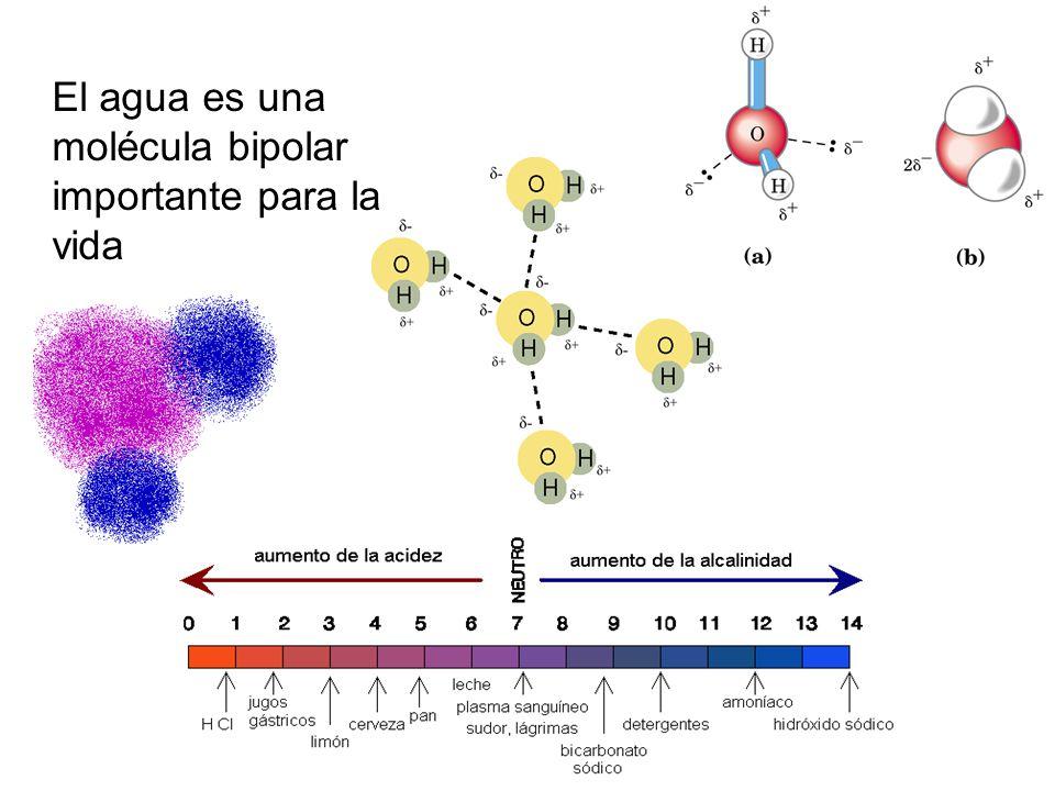 El agua es una molécula bipolar importante para la vida
