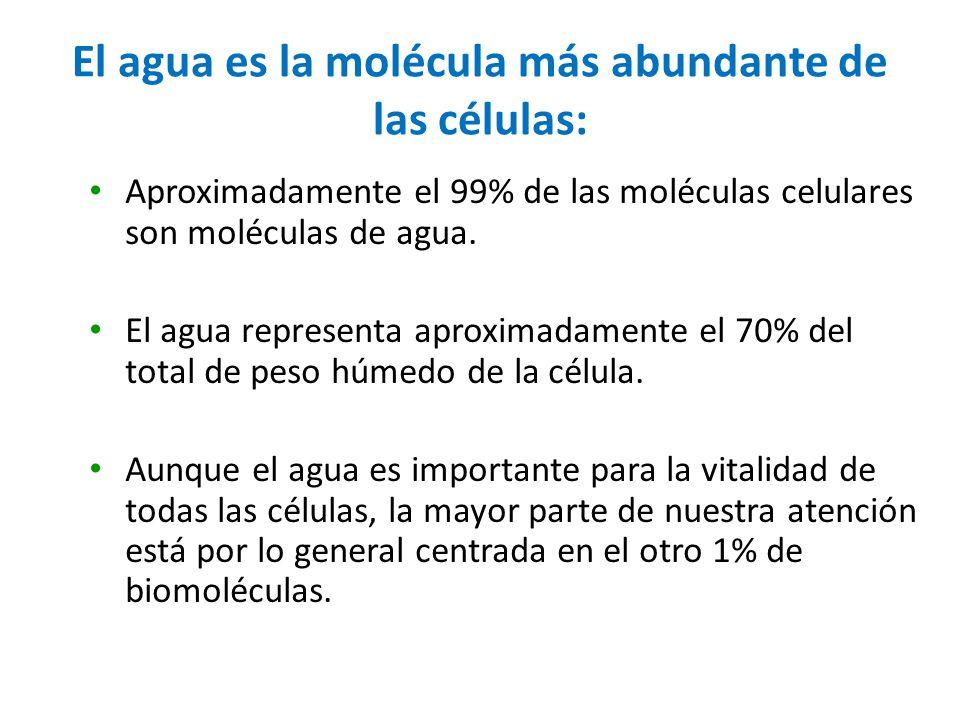 El agua es la molécula más abundante de las células:
