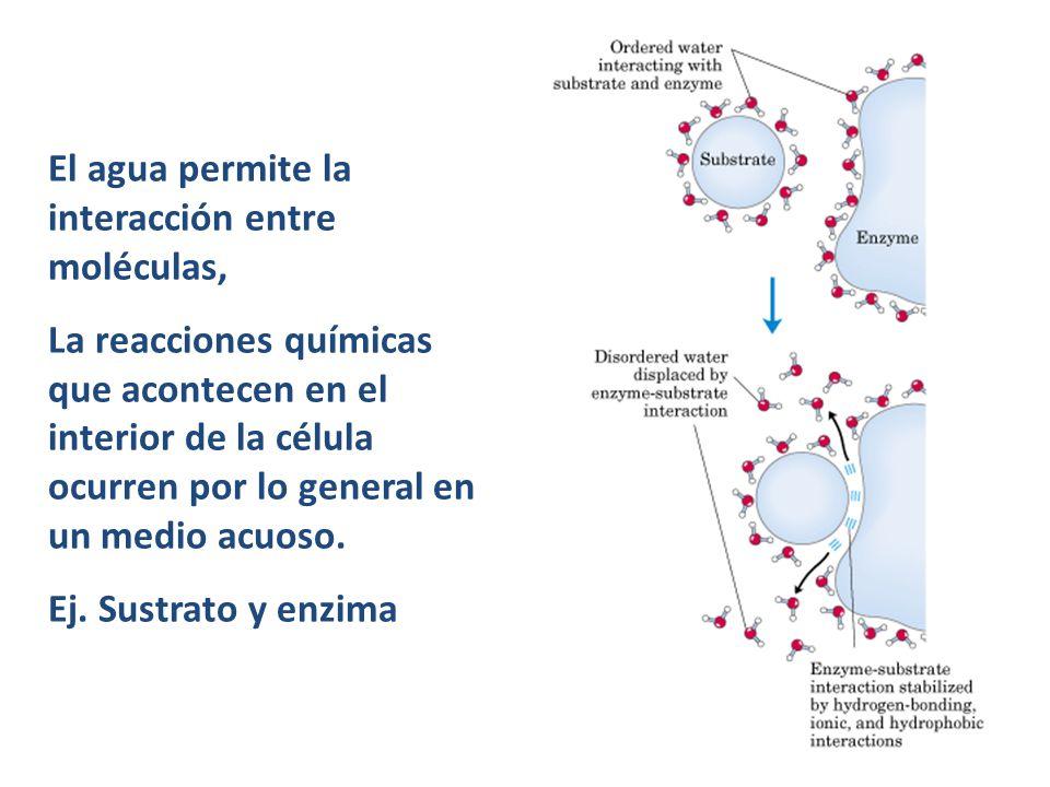 El agua permite la interacción entre moléculas,