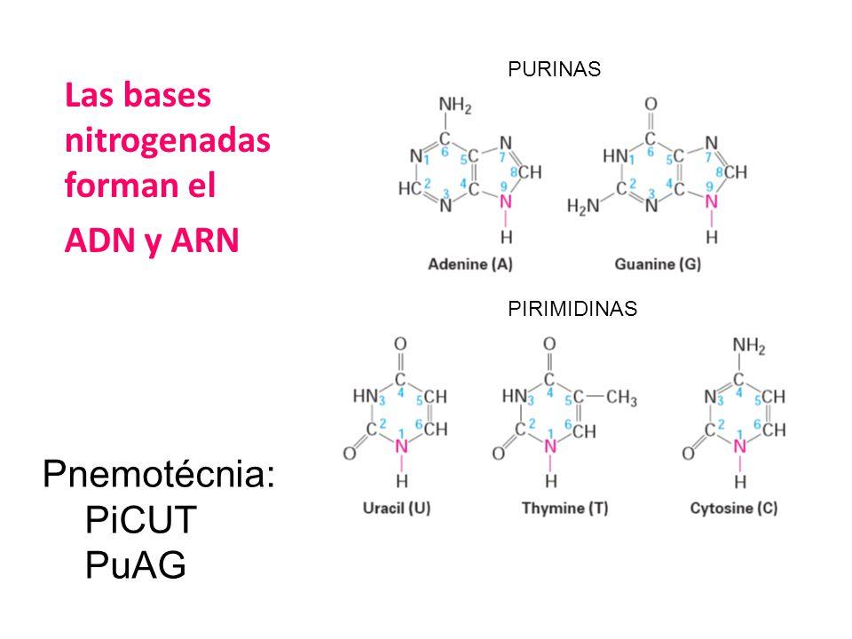Las bases nitrogenadas forman el