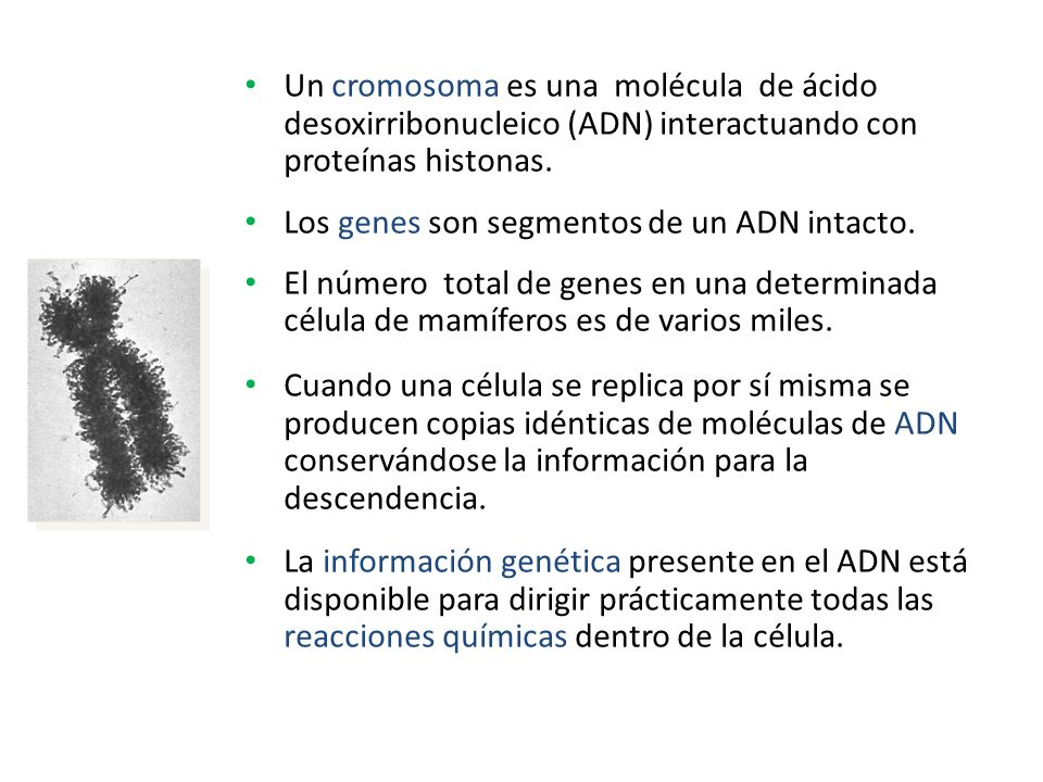Un cromosoma es una molécula de ácido desoxirribonucleico (ADN) interactuando con proteínas histonas.