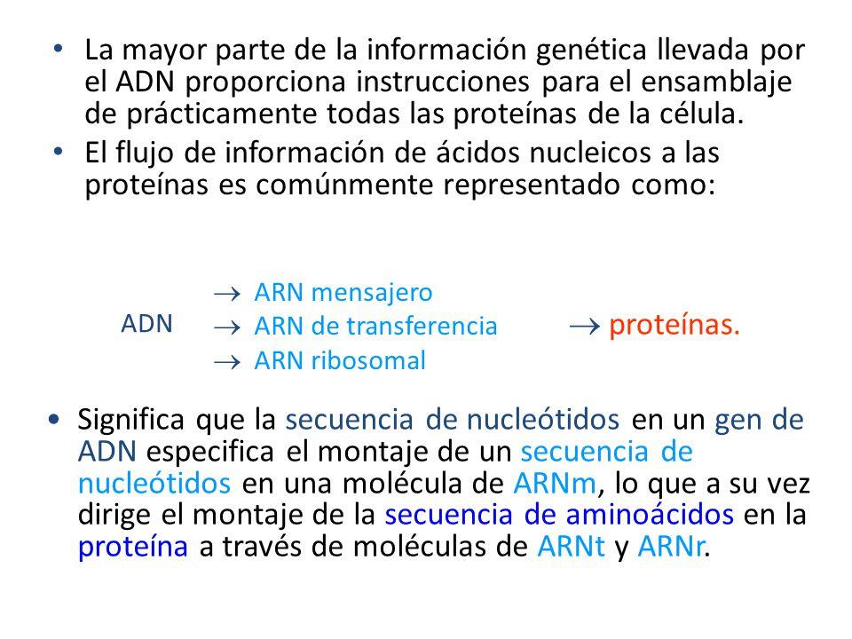 La mayor parte de la información genética llevada por el ADN proporciona instrucciones para el ensamblaje de prácticamente todas las proteínas de la célula.