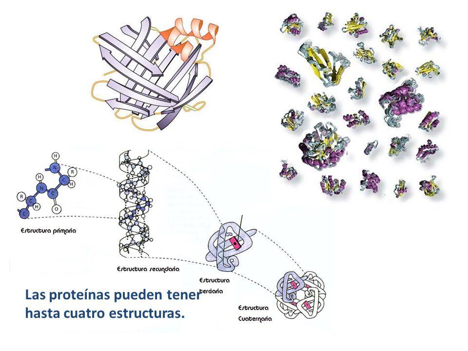Las proteínas pueden tener hasta cuatro estructuras.