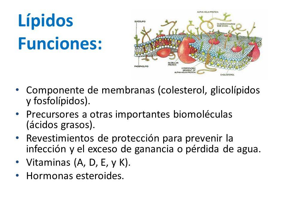 Lípidos Funciones: Componente de membranas (colesterol, glicolípidos y fosfolípidos). Precursores a otras importantes biomoléculas (ácidos grasos).