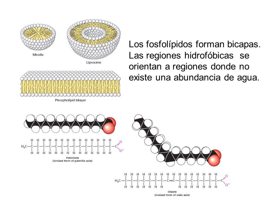 Los fosfolípidos forman bicapas