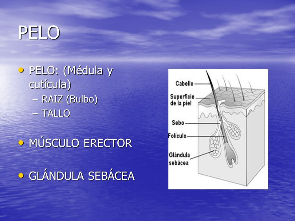 PELO PELO: (Médula y cutícula) MÚSCULO ERECTOR GLÁNDULA SEBÁCEA