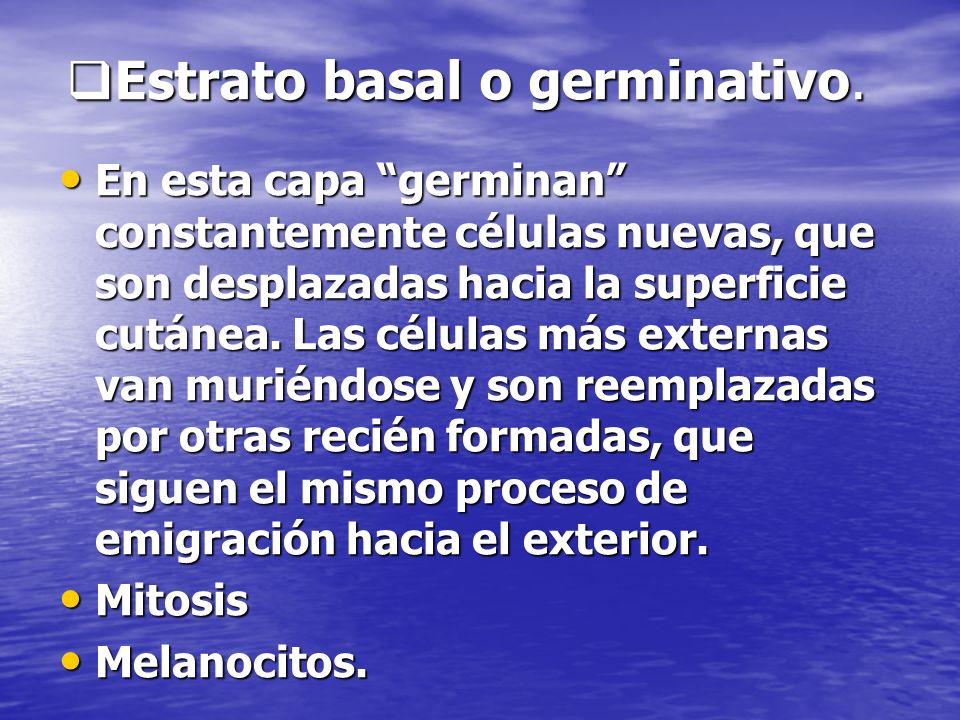 Estrato basal o germinativo.