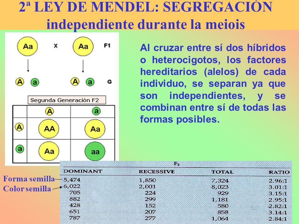2ª LEY DE MENDEL: SEGREGACIÓN independiente durante la meiois