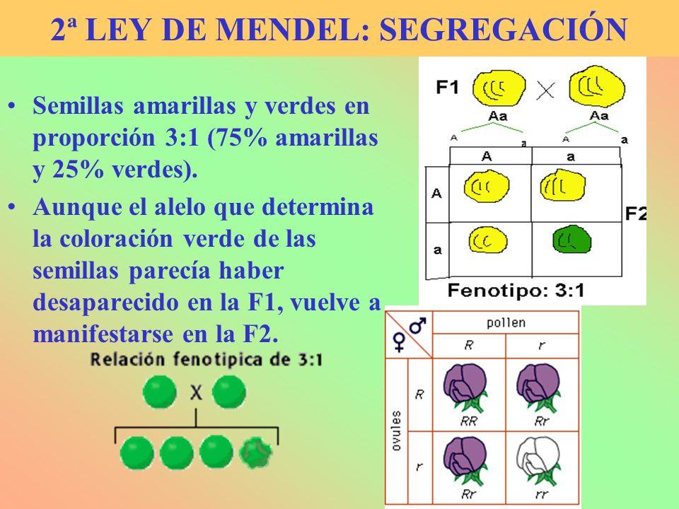 2ª LEY DE MENDEL: SEGREGACIÓN