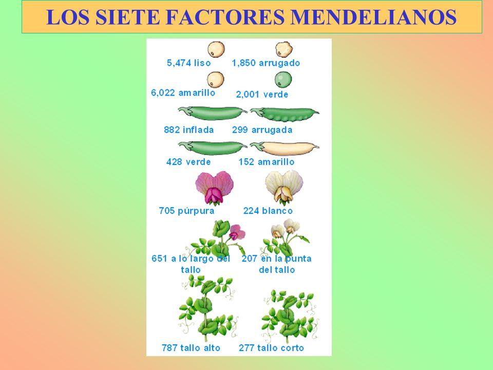 LOS SIETE FACTORES MENDELIANOS