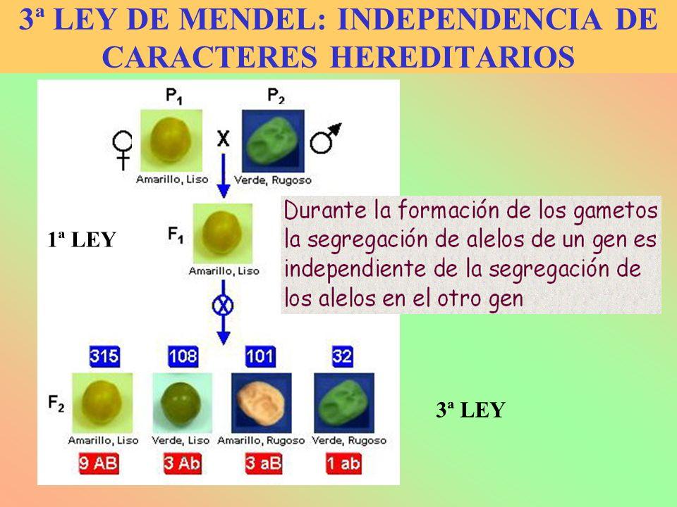 3ª LEY DE MENDEL: INDEPENDENCIA DE CARACTERES HEREDITARIOS