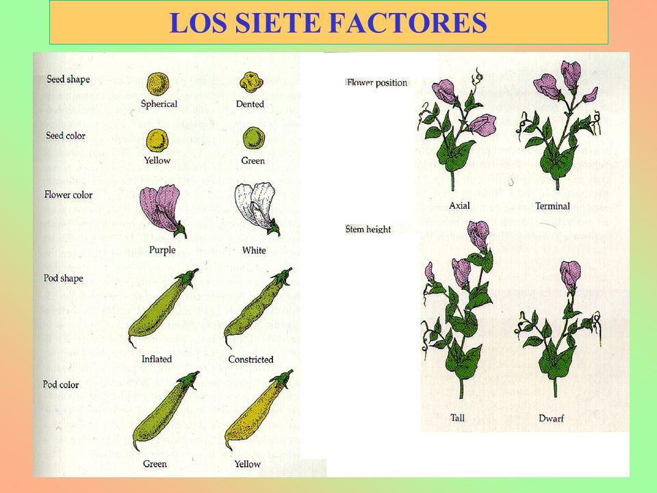 LOS SIETE FACTORES
