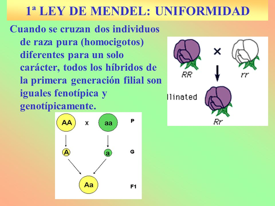 1ª LEY DE MENDEL: UNIFORMIDAD