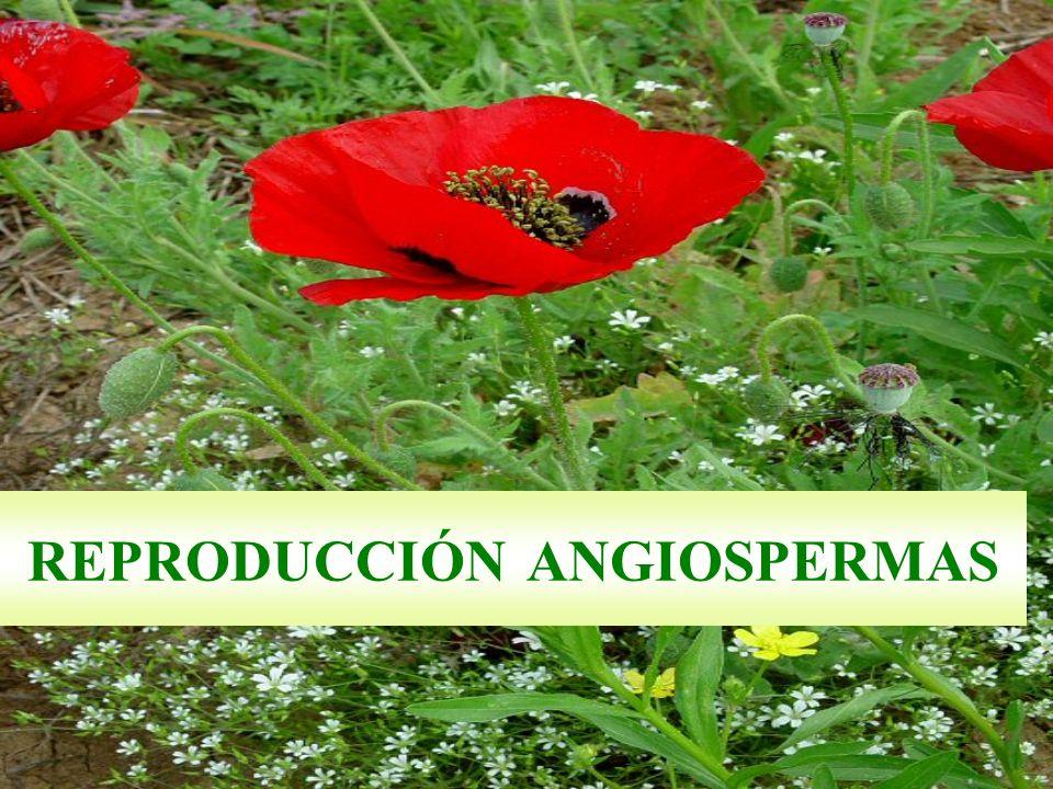 REPRODUCCIÓN ANGIOSPERMAS