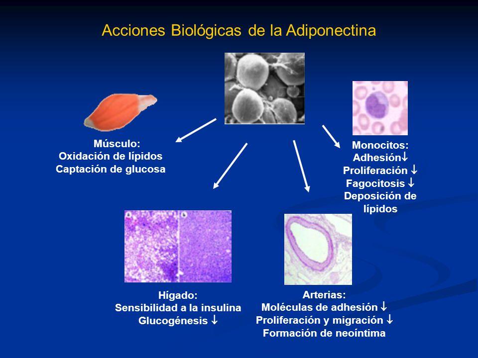 Acciones Biológicas de la Adiponectina