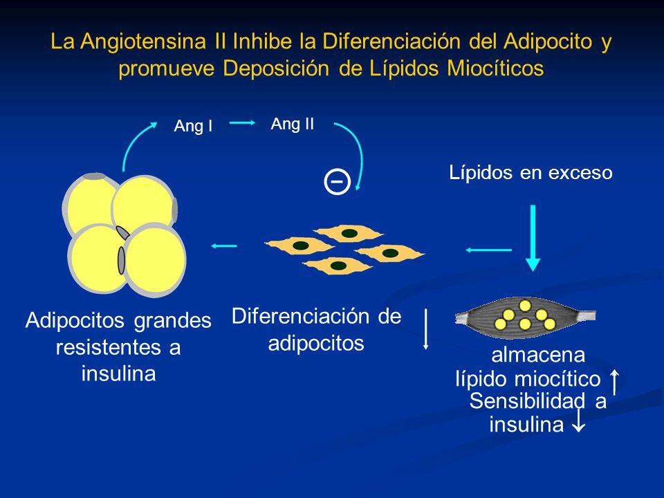 resistentes a insulina Diferenciación de adipocitos almacena