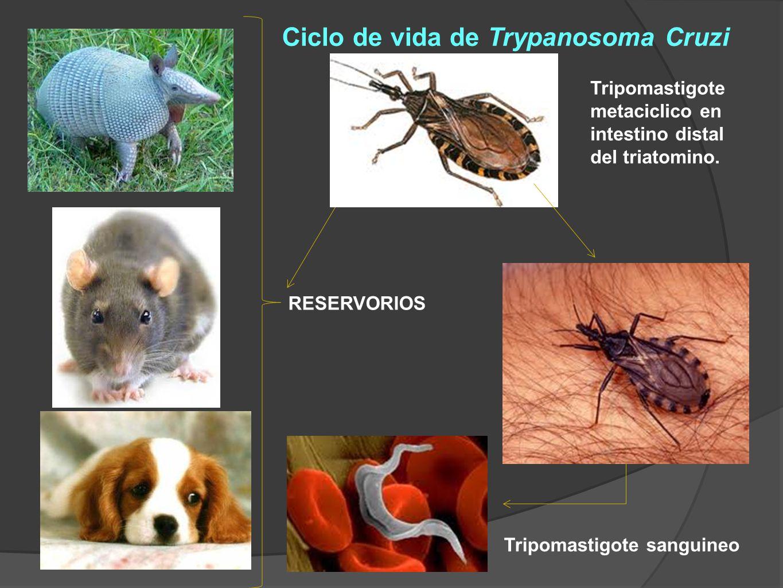 Ciclo de vida de Trypanosoma Cruzi