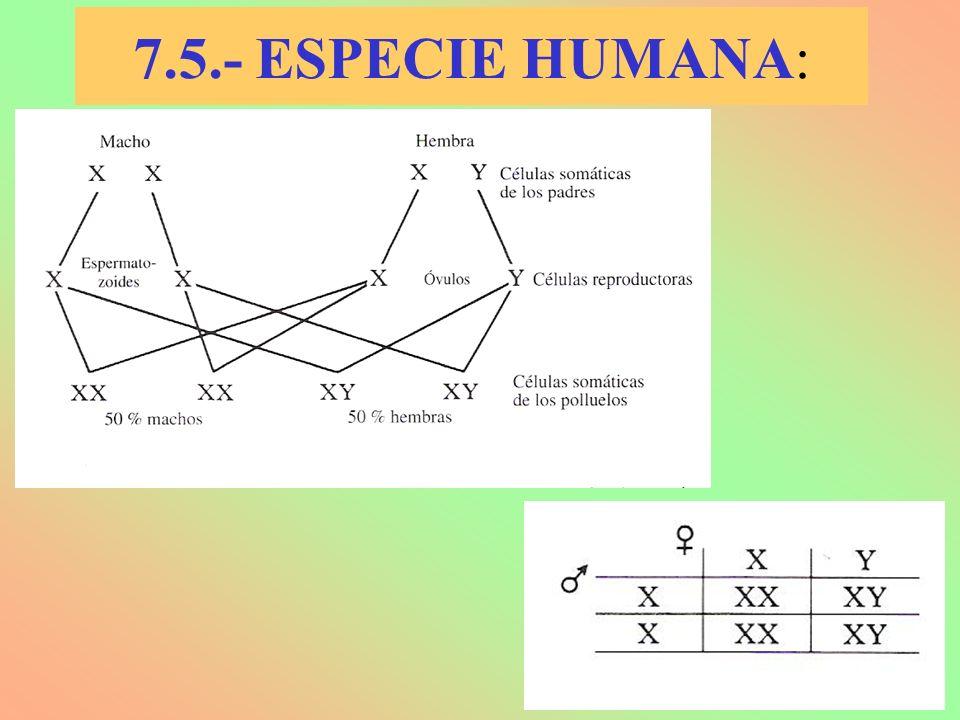 7.5.- ESPECIE HUMANA: