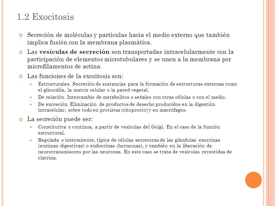1.2 Exocitosis Secreción de moléculas y partículas hacia el medio externo que también implica fusión con la membrana plasmática.