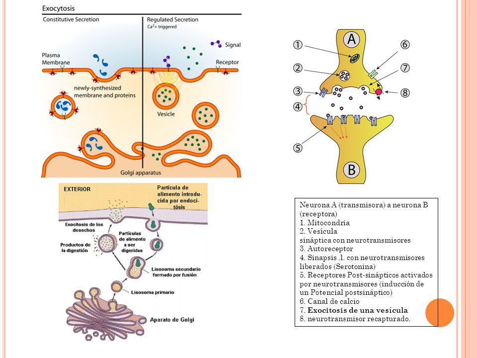Neurona A (transmisora) a neurona B (receptora) 1. Mitocondria 2