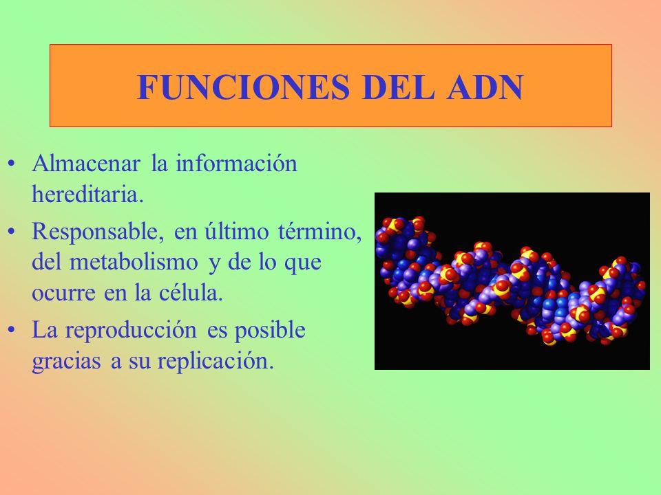 FUNCIONES DEL ADN Almacenar la información hereditaria.