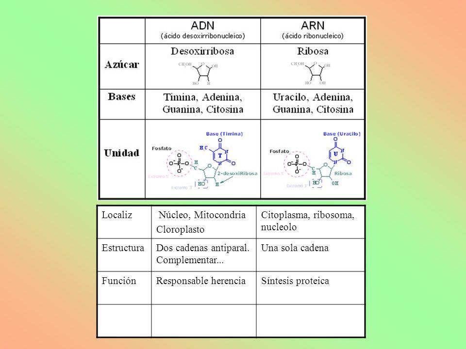 Localiz Núcleo, Mitocondria. Cloroplasto. Citoplasma, ribosoma, nucleolo. Estructura. Dos cadenas antiparal. Complementar...
