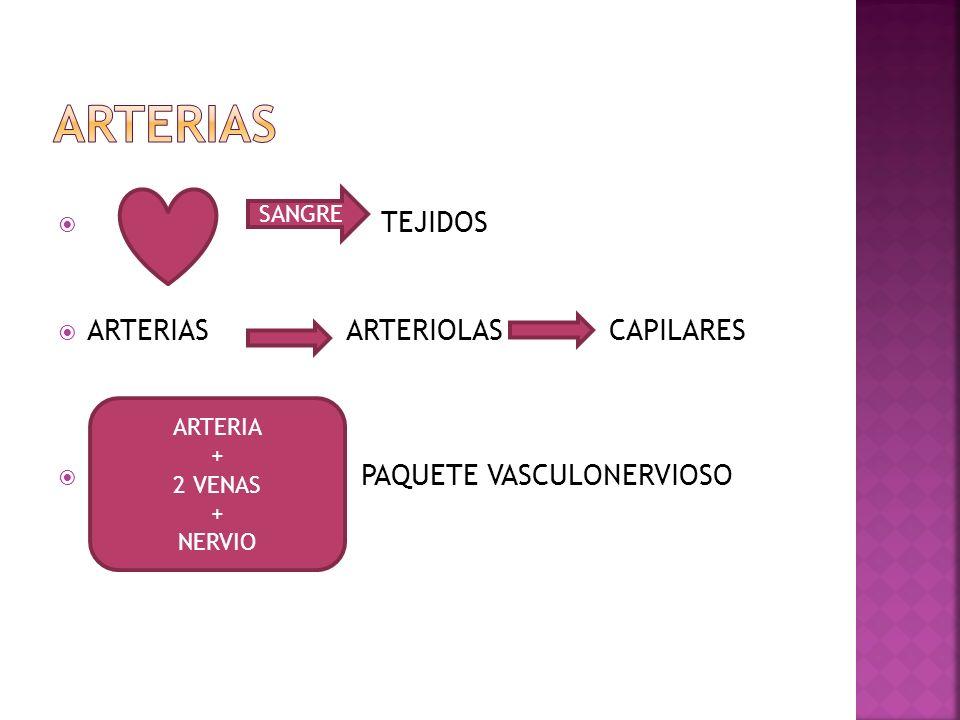 ARTERIAS TEJIDOS ARTERIAS ARTERIOLAS CAPILARES PAQUETE VASCULONERVIOSO