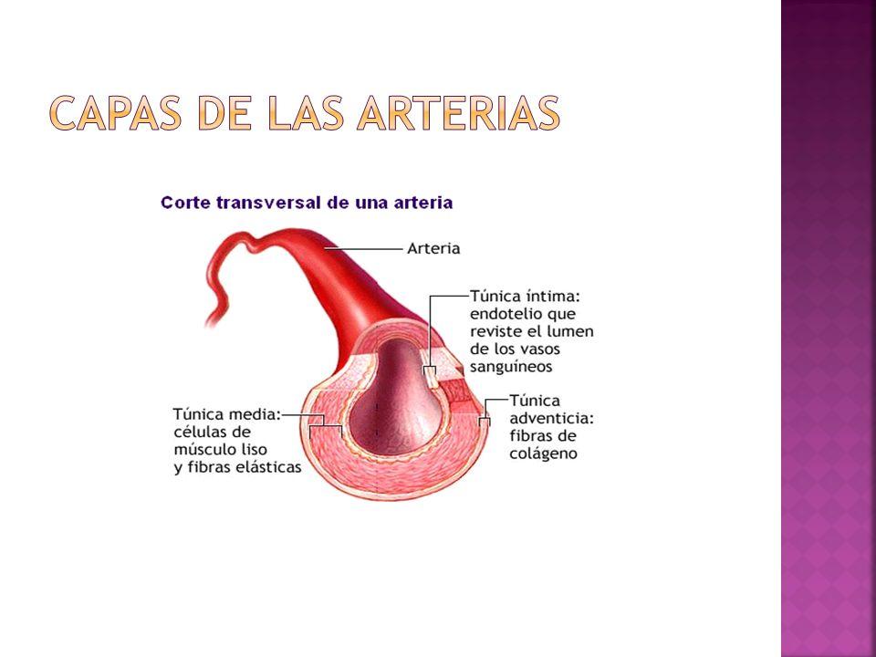 Capas de las arterias