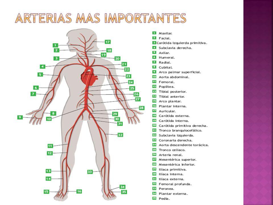 Arterias MAS IMPORTANTES