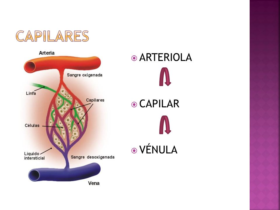 capilares ARTERIOLA CAPILAR VÉNULA