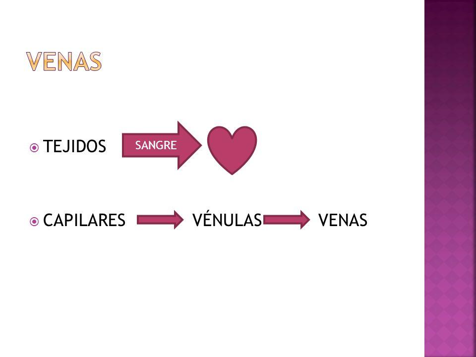 VENAS TEJIDOS CAPILARES VÉNULAS VENAS SANGRE
