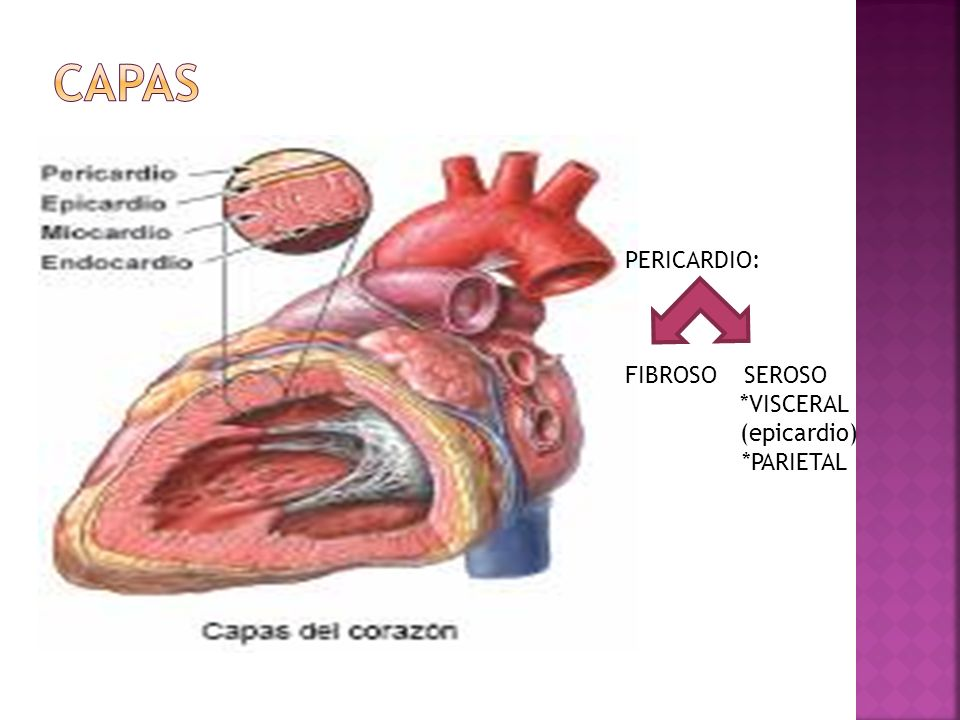 CAPAS PERICARDIO: FIBROSO SEROSO *VISCERAL (epicardio) *PARIETAL