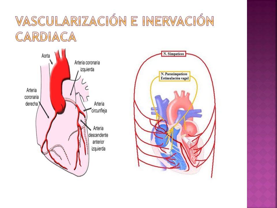 Vascularización e inervación cardiaca