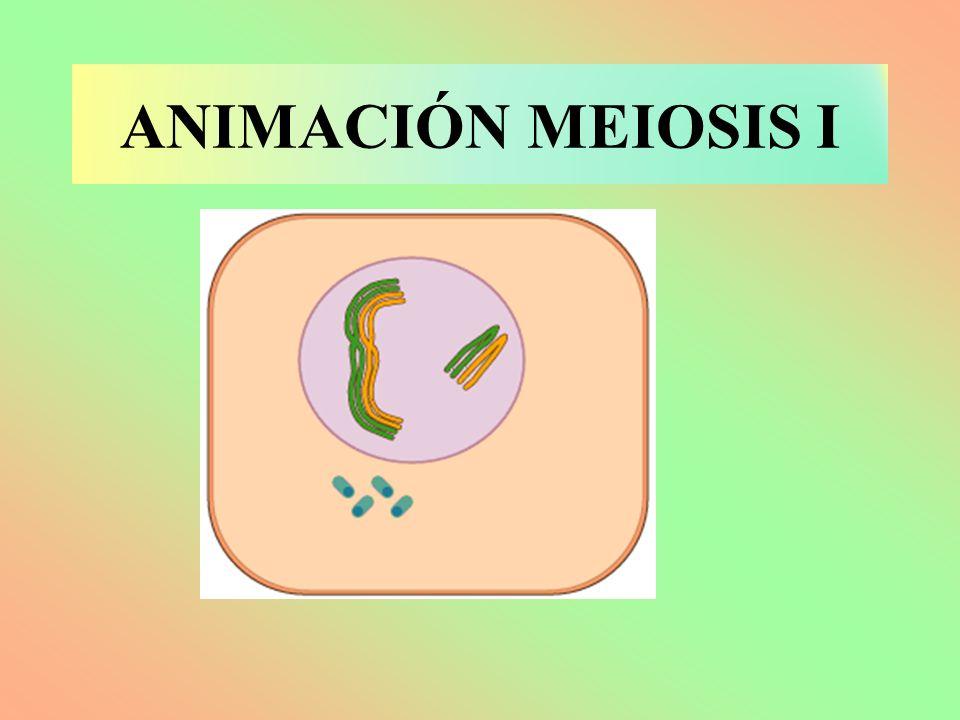 ANIMACIÓN MEIOSIS I