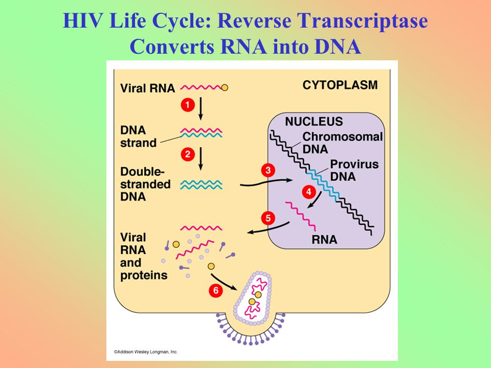 HIV Life Cycle: Reverse Transcriptase Converts RNA into DNA