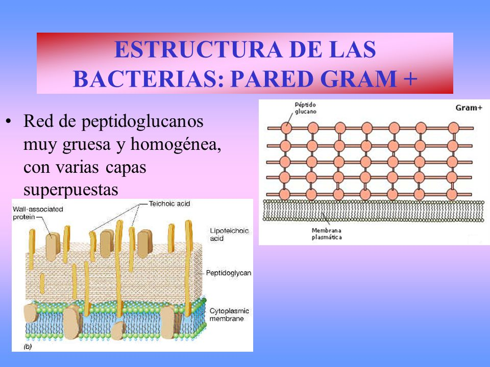 ESTRUCTURA DE LAS BACTERIAS: PARED GRAM +