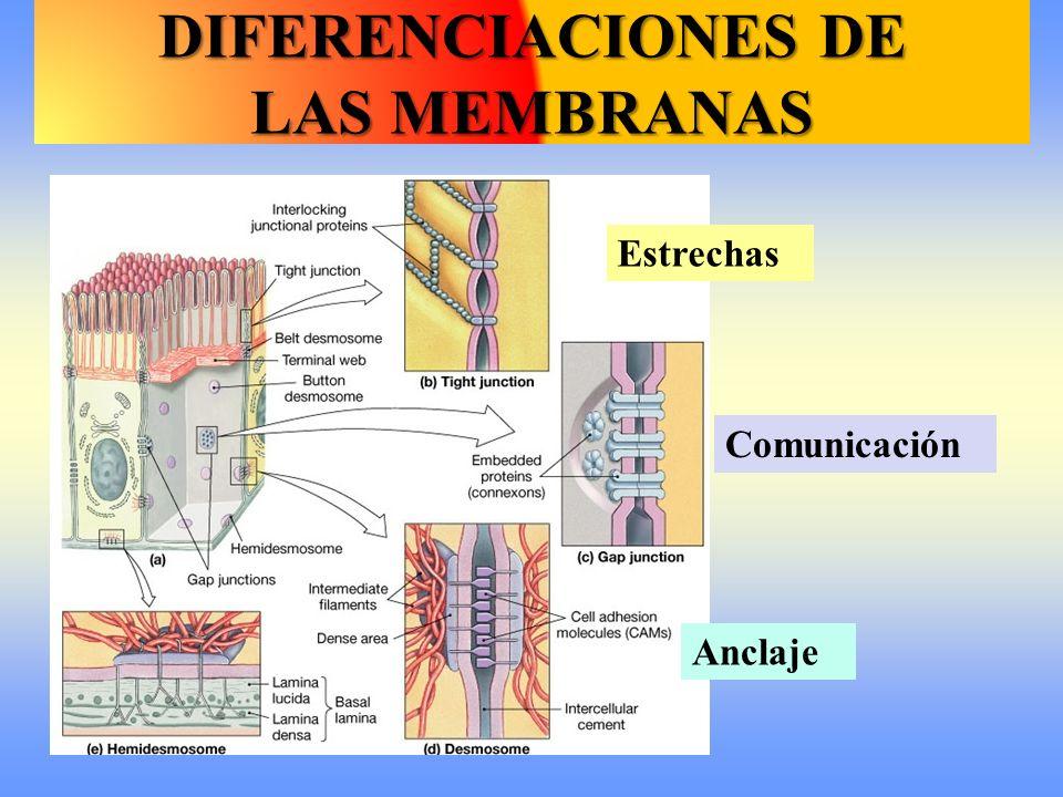 DIFERENCIACIONES DE LAS MEMBRANAS