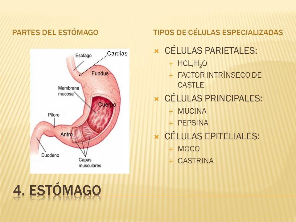 4. estómago CÉLULAS PARIETALES: CÉLULAS PRINCIPALES: