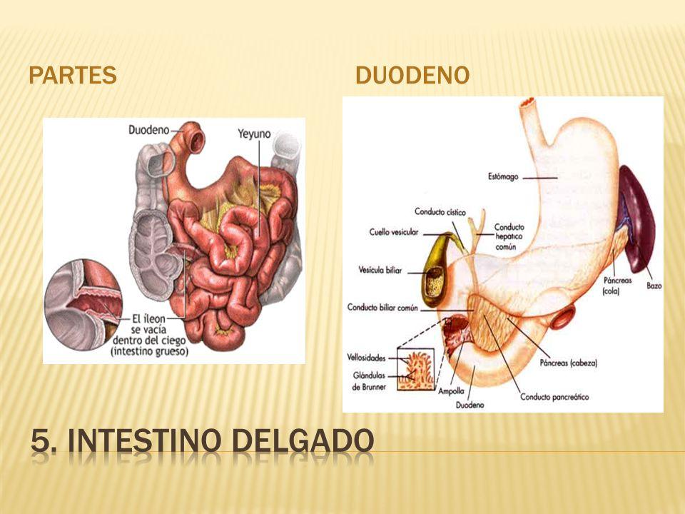 PARTES DUODENO 5. INTESTINO DELGADO