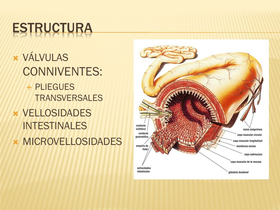 Estructura VÁLVULAS CONNIVENTES: VELLOSIDADES INTESTINALES