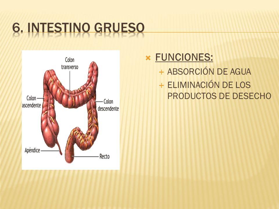 6. INTESTINO GRUESO FUNCIONES: ABSORCIÓN DE AGUA