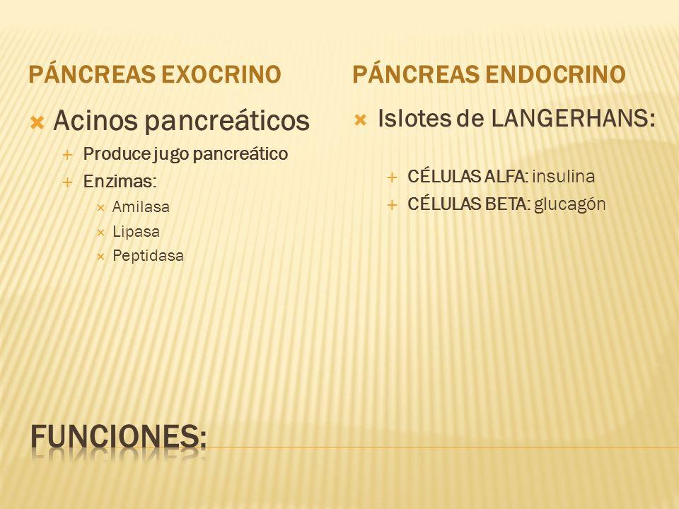 Funciones: Acinos pancreáticos Páncreas exocrino Páncreas endocrino