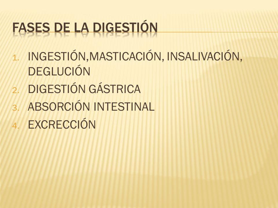 Fases de la digestión INGESTIÓN,MASTICACIÓN, INSALIVACIÓN, DEGLUCIÓN