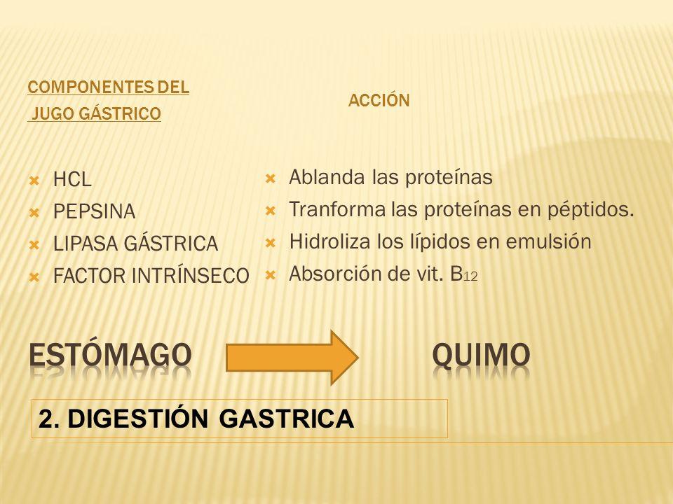 Estómago quimo 2. DIGESTIÓN GASTRICA Ablanda las proteínas HCL