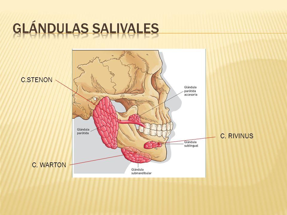 GLÁNDULAS SALIVALES C.STENON C. RIVINUS C. WARTON