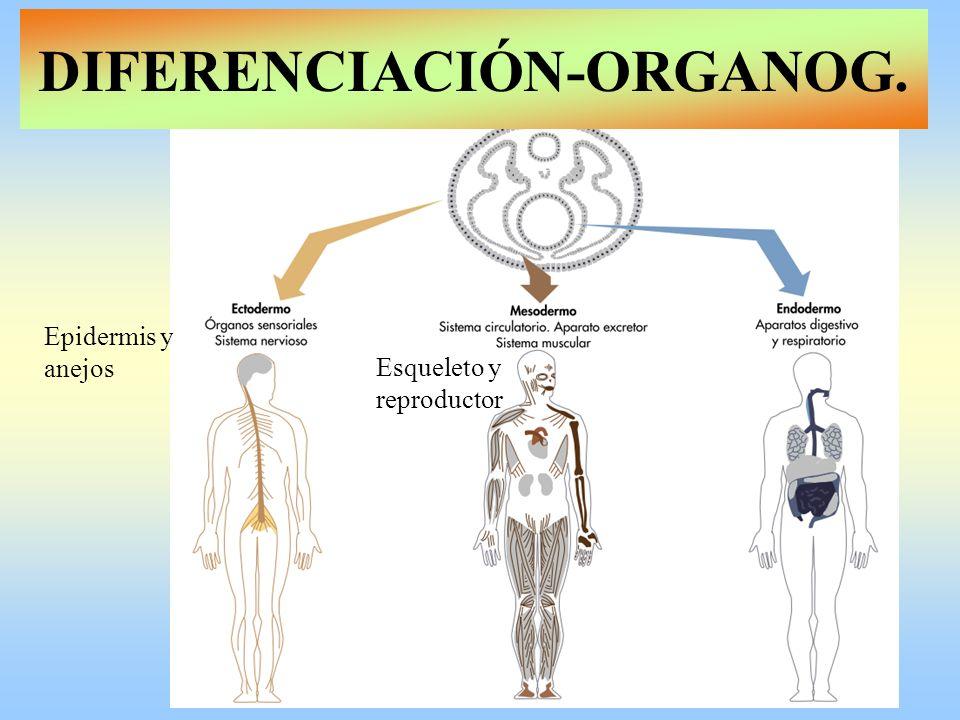 DIFERENCIACIÓN-ORGANOG.