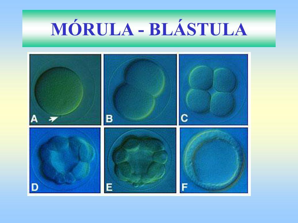 MÓRULA - BLÁSTULA 8