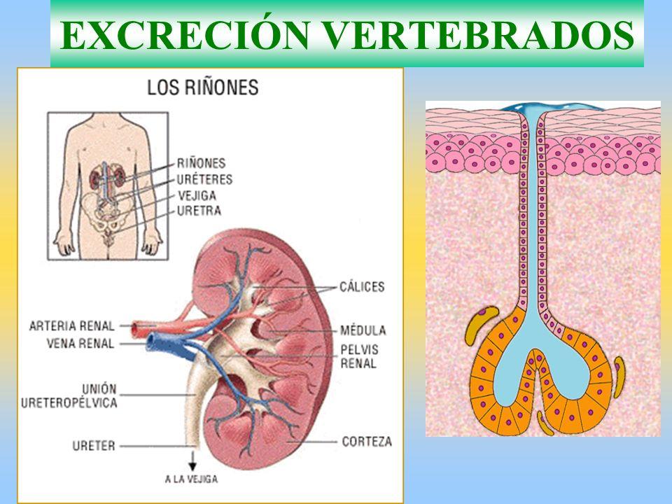EXCRECIÓN VERTEBRADOS
