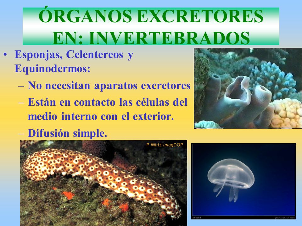 ÓRGANOS EXCRETORES EN: INVERTEBRADOS