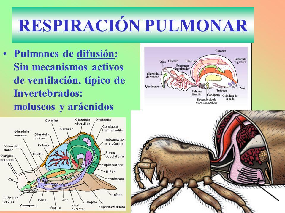 RESPIRACIÓN PULMONAR Pulmones de difusión: Sin mecanismos activos de ventilación, típico de Invertebrados: moluscos y arácnidos.